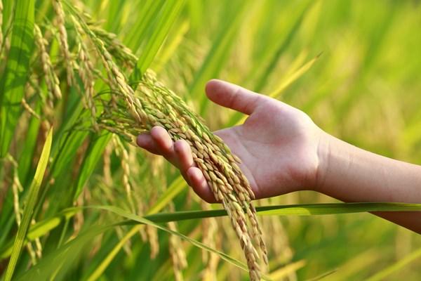 日本2017最新研發成果(9/30) 適用於製作麵包且高產量之小麥新品種「SETOKIRARA」