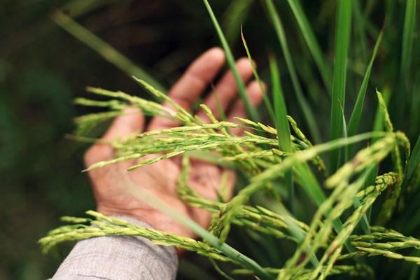 日本2017最新研發成果(10/30) 健康機能性及精麥品質佳的六條糯性大麥新品種「東山皮糯109號(白纖維)」