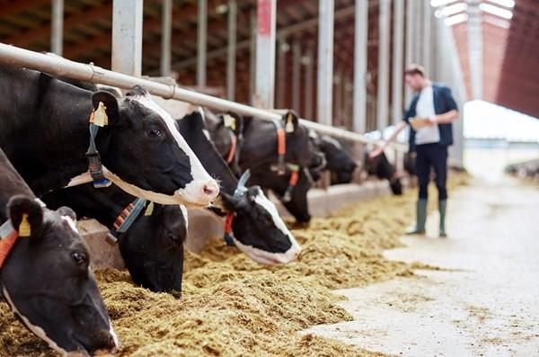 高營養濃度的飲食會影響牛的肝臟健康