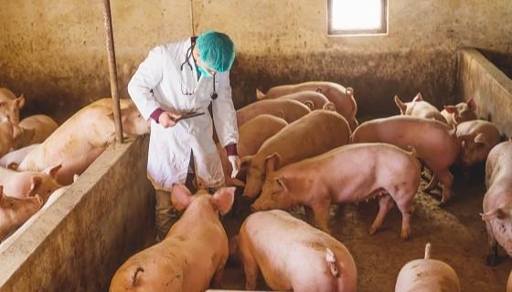 針對特定非洲豬瘟病毒株研發的口服疫苗可望防治逐漸失控的疫情