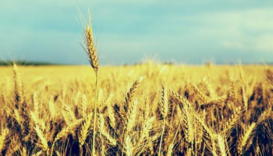 新型可攜式DNA定序裝置可廣泛偵測早期小麥相關疾病