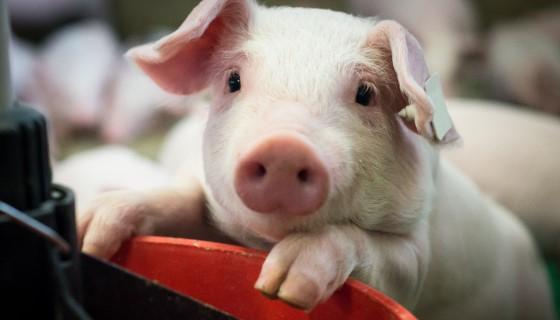 最新的研究發現迷你豬在野豬族群擴張的過程中扮演重要的角色