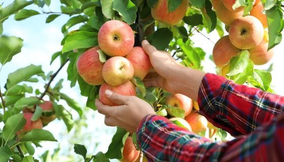 日本農業創新趨勢,新果樹品種對抗全球暖化
