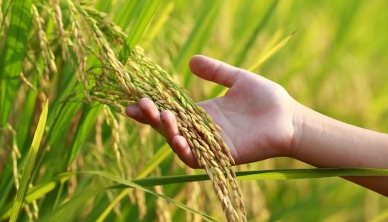 評估印度於綠色革命後穀物種植的永續性
