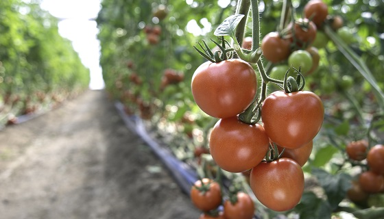 利用雲端管理番茄的生長數據
