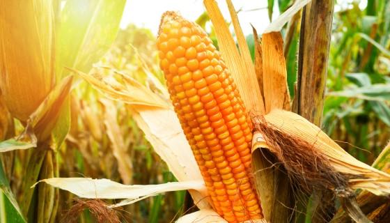 遙測技術應用於玉米田的氮肥管理