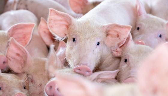 豬隻的益生菌研究有新的突破