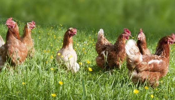 科學家為養雞場開發了寄生蟲檢測系統