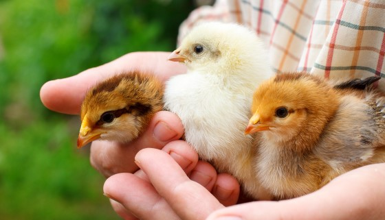 現有家禽相關創新技術盤點