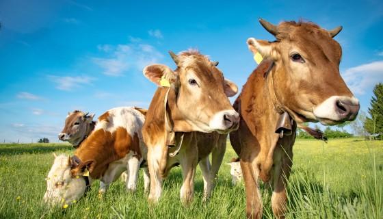 未來牛舍的設計將為乳牛和氣候變遷保留更多的緩衝空間