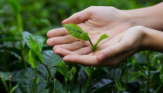 印度托克萊茶葉研究中心的科學家在茶方面的研究取得重大突破