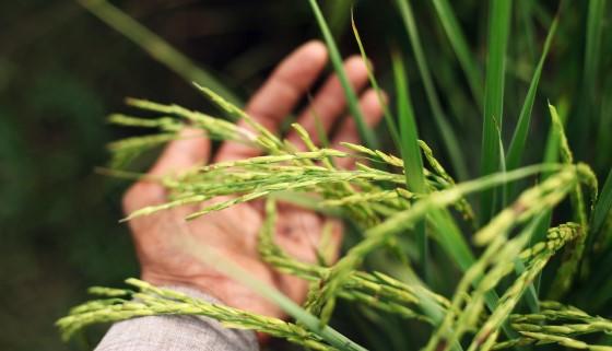 稻米透過再生方式突破氣候變遷造成產量降低的壁壘