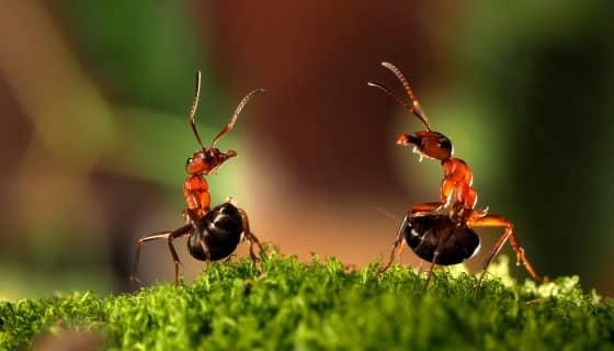 運用螞蟻費洛蒙來誘捕害蟲減少殺蟲劑於作物的噴灑
