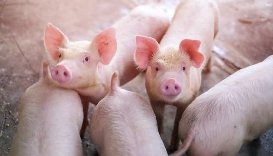 運用擠壓膨化技術加工過後的穀物飼料對於豬隻生長可能更有益處