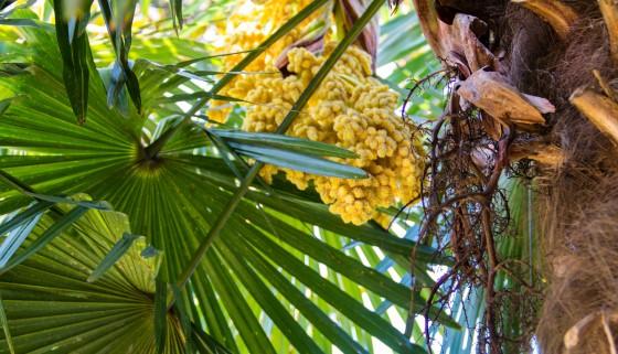 利用棕櫚果串副產物製造生物可分解的塑膠薄膜