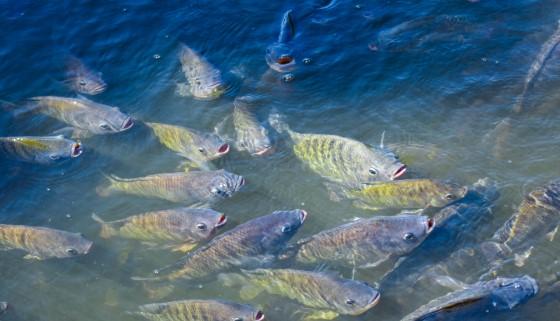 以微藻作為養殖吳郭魚之無魚配方飼料來源,邁向永續發展