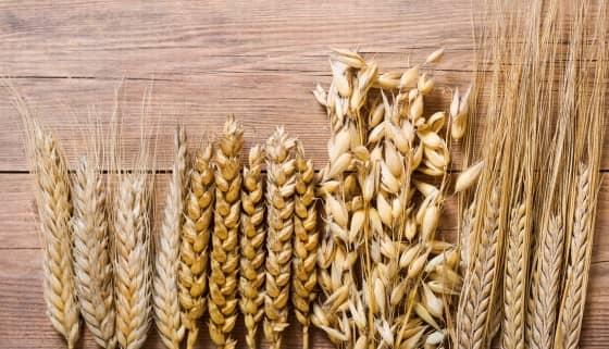 以單倍型為主導的新方法可提高小麥育種精準度