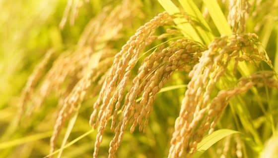 磷土浸漬法改善水稻磷吸收能力