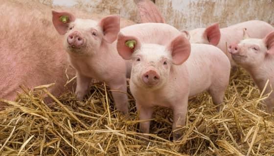 以資通訊技術平台PigSmart解決烏干達的毛豬價值鏈限制