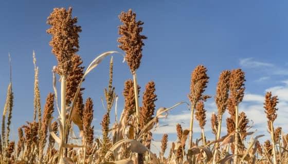 高粱做為能源植物新選擇