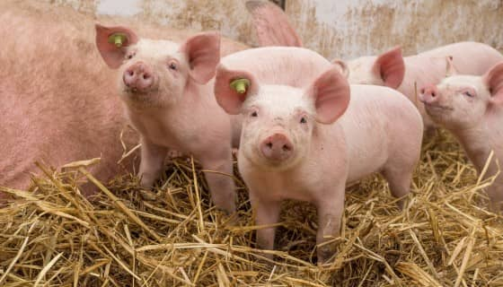 利用生命週期評估模型估算英國養豬產業系統的碳足跡及影響因素