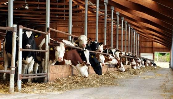 以海藻餵食牛隻可減少80%的溫室氣體排放