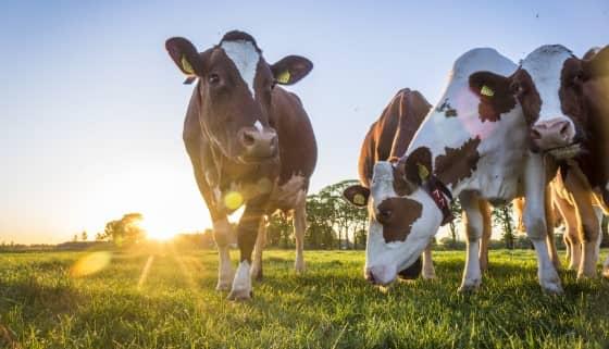 荷蘭WUR研究顯示以蘆筍藻作為乳牛生成甲烷的抑製劑並非毫無風險